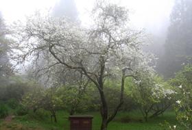 雲霧中的霧社櫻