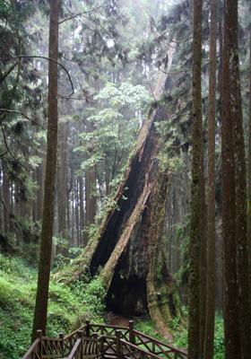 神木車站下方巨木