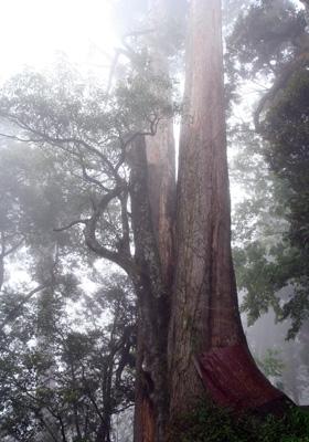 檜木與台灣衫共生