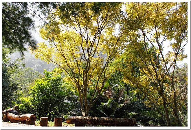 桃源仙谷黃金楓