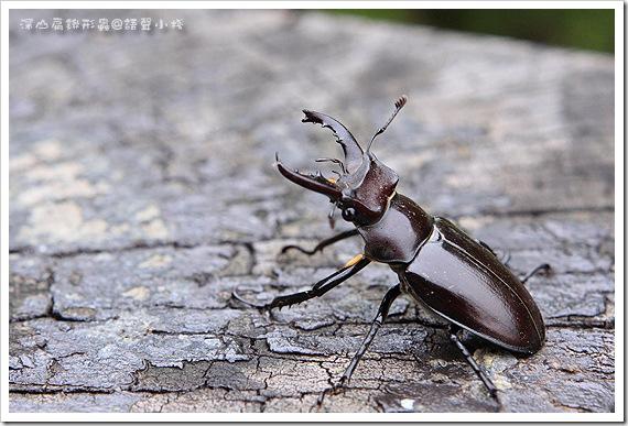 深山扁鍬形蟲
