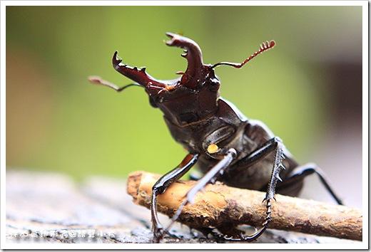 深山鍬形蟲