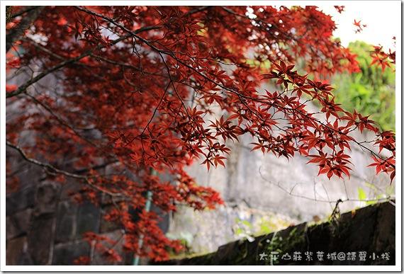 太平山莊紫葉槭