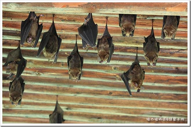 福山植物園蝙蝠