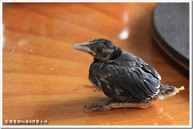 台灣藍鵲雛鳥
