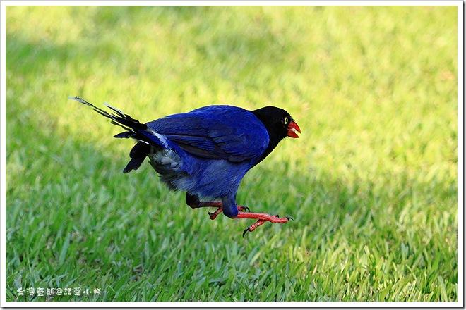 跳躍的藍鵲