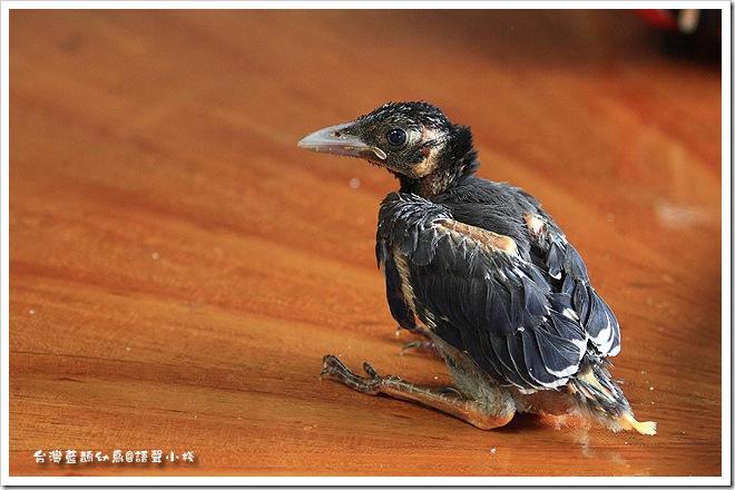 台灣藍鵲幼鳥