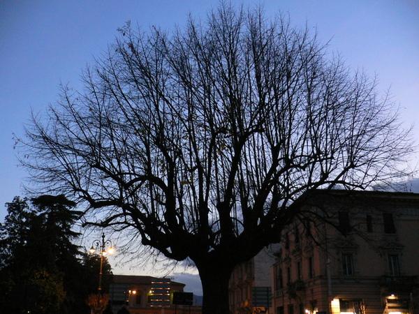 盧卡的枯樹