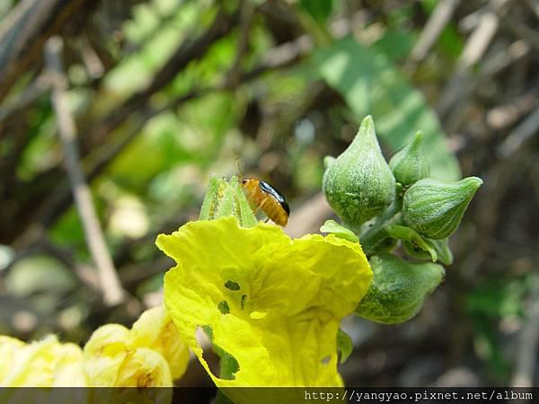 絲瓜-05-大琉璃金花蟲.JPG