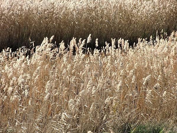 reeds-94791_1280