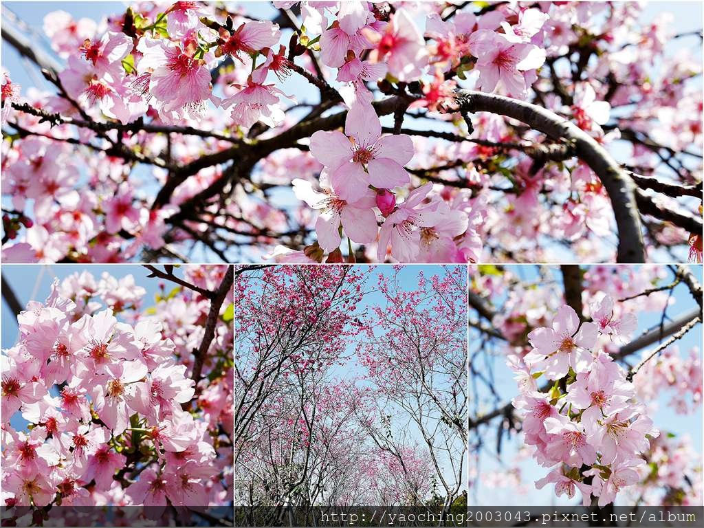 1551692542 1164723090 - 台中烏日 溪尾櫻花林,櫻花季開跑囉,一同感受免費的粉色浪漫