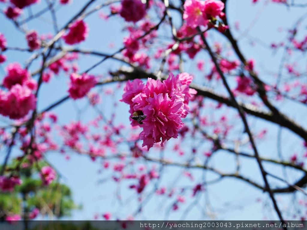1551692543 2193469584 - 台中烏日 溪尾櫻花林,櫻花季開跑囉,一同感受免費的粉色浪漫