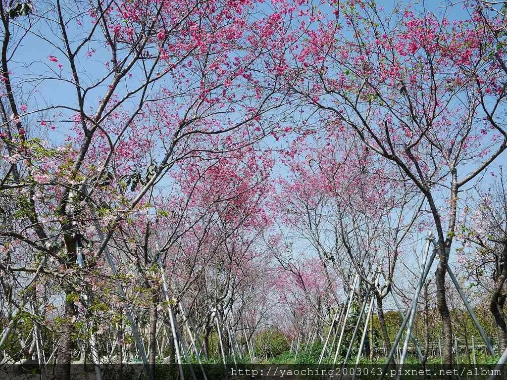 1551692544 770596385 - 台中烏日 溪尾櫻花林,櫻花季開跑囉,一同感受免費的粉色浪漫