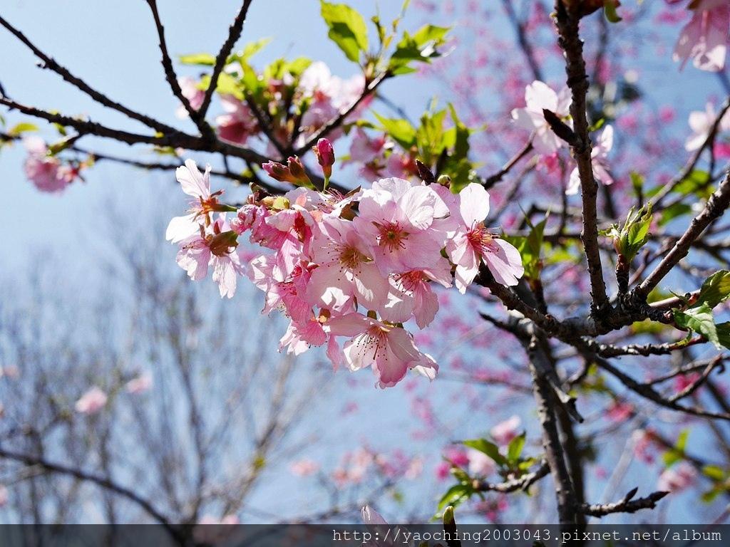 1551692545 3141608541 - 台中烏日 溪尾櫻花林,櫻花季開跑囉,一同感受免費的粉色浪漫