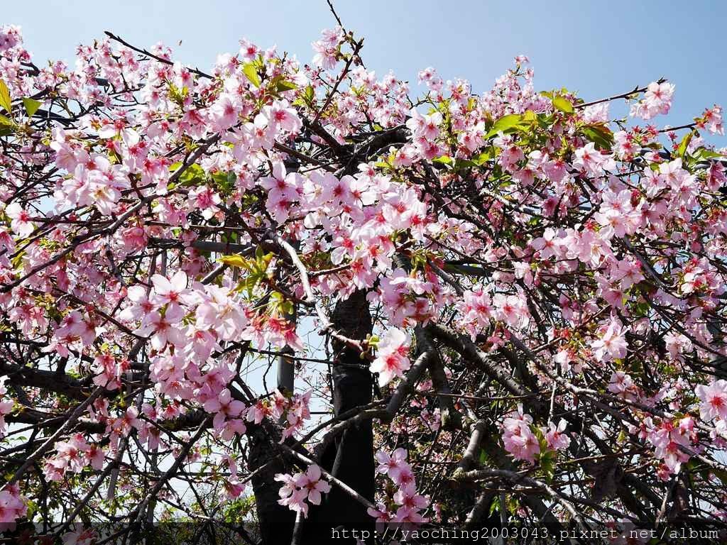 1551692547 4018881067 - 台中烏日 溪尾櫻花林,櫻花季開跑囉,一同感受免費的粉色浪漫