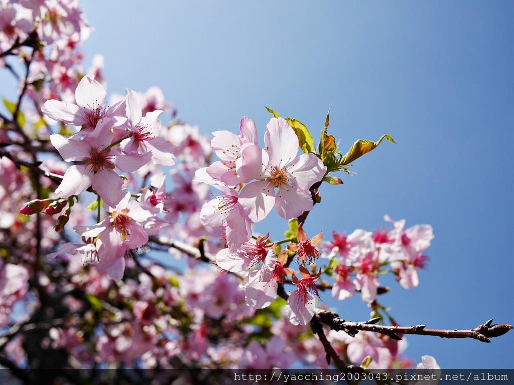 1551692547 757055474 - 台中烏日 溪尾櫻花林,櫻花季開跑囉,一同感受免費的粉色浪漫