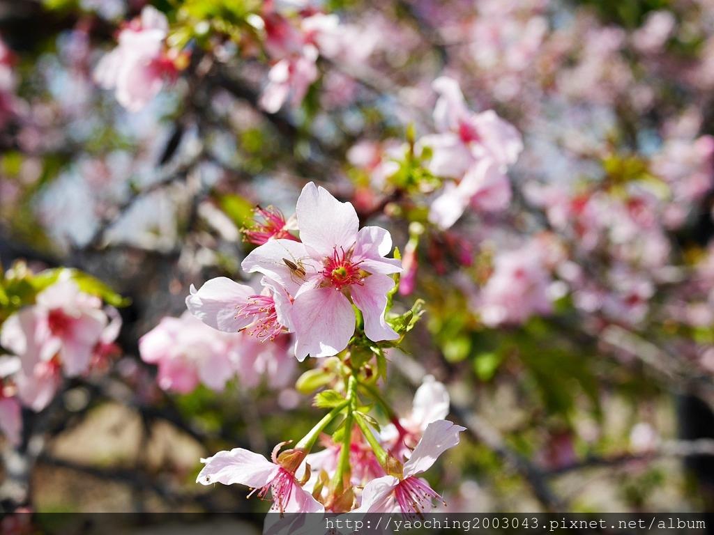 1551692548 2171571880 - 台中烏日 溪尾櫻花林,櫻花季開跑囉,一同感受免費的粉色浪漫