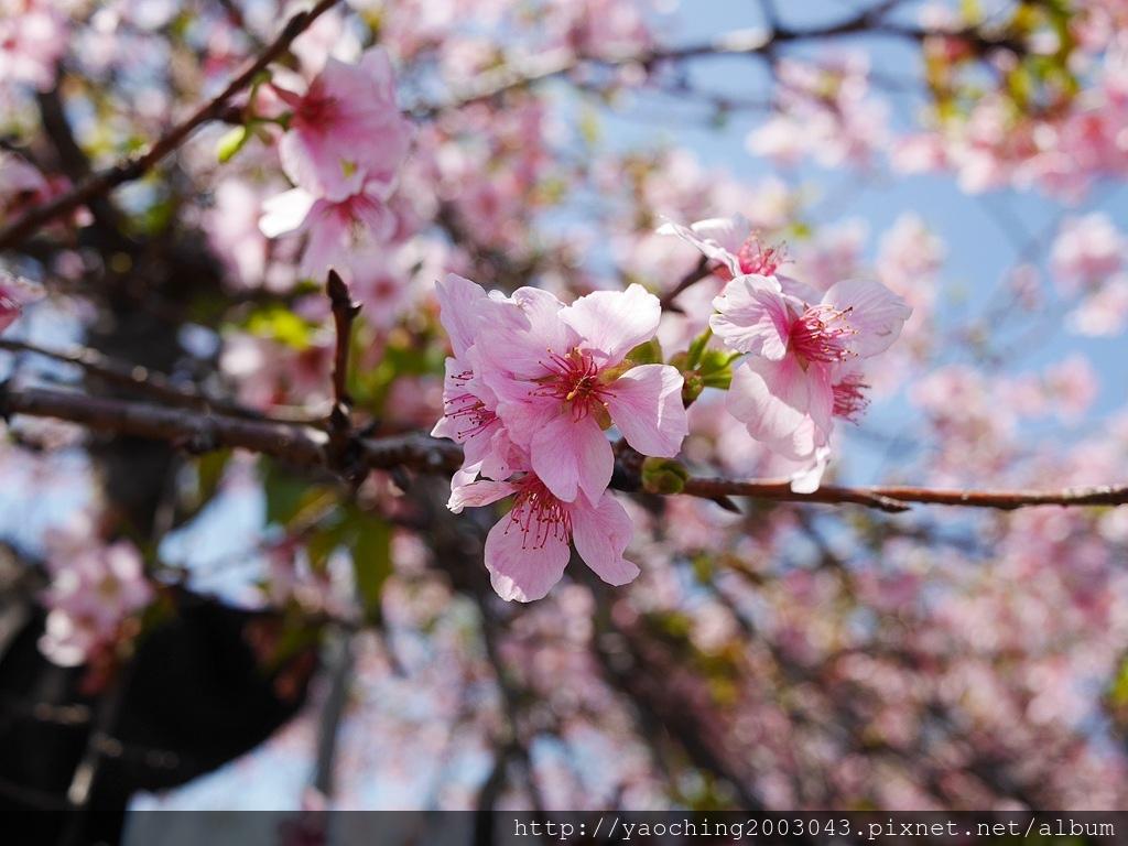 1551692550 1700721767 - 台中烏日 溪尾櫻花林,櫻花季開跑囉,一同感受免費的粉色浪漫