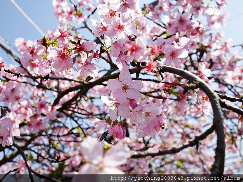 1551692550 248512342 - 台中烏日 溪尾櫻花林,櫻花季開跑囉,一同感受免費的粉色浪漫