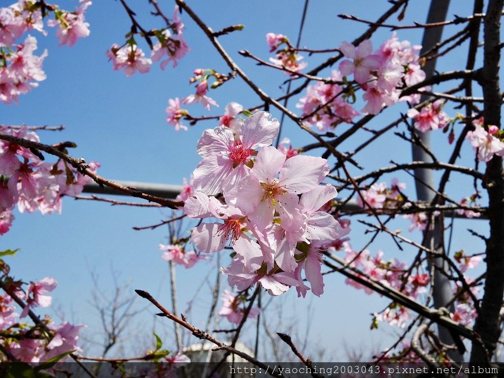 1551692552 3287953225 - 台中烏日 溪尾櫻花林,櫻花季開跑囉,一同感受免費的粉色浪漫