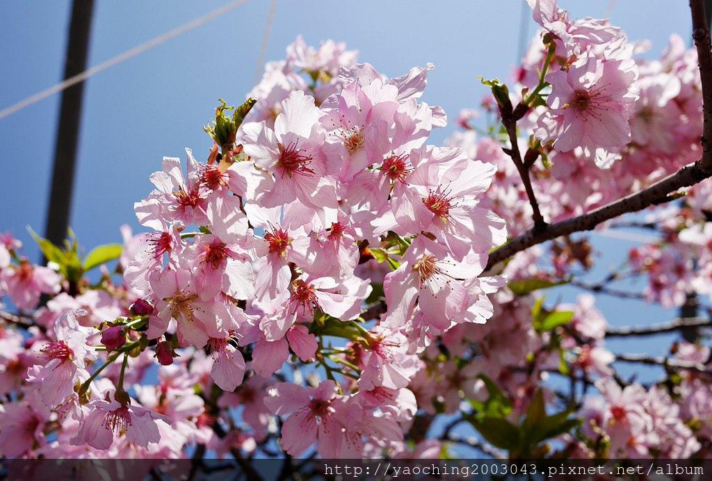 1551692553 1717868204 - 台中烏日 溪尾櫻花林,櫻花季開跑囉,一同感受免費的粉色浪漫