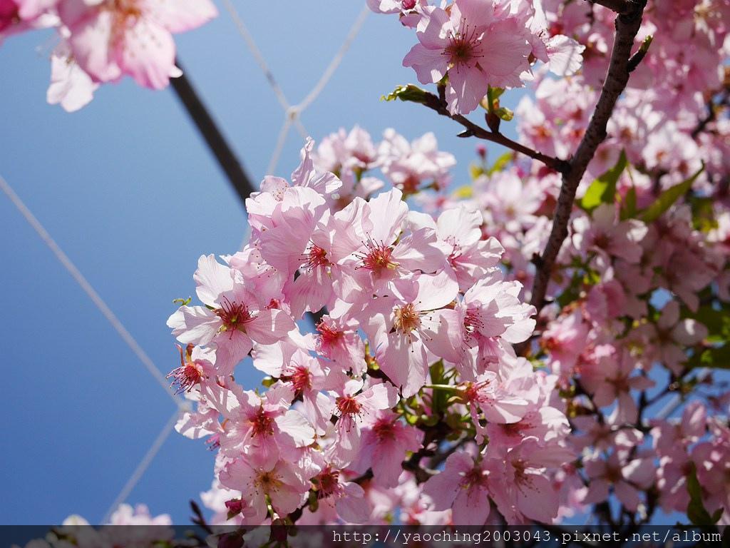 1551692553 2207737712 - 台中烏日 溪尾櫻花林,櫻花季開跑囉,一同感受免費的粉色浪漫