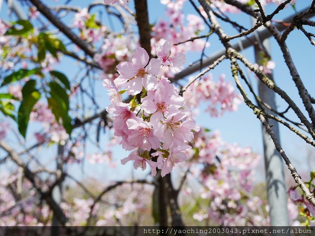 1551692554 2687413707 - 台中烏日 溪尾櫻花林,櫻花季開跑囉,一同感受免費的粉色浪漫