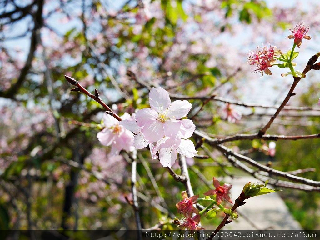 1551692555 1154810181 - 台中烏日 溪尾櫻花林,櫻花季開跑囉,一同感受免費的粉色浪漫