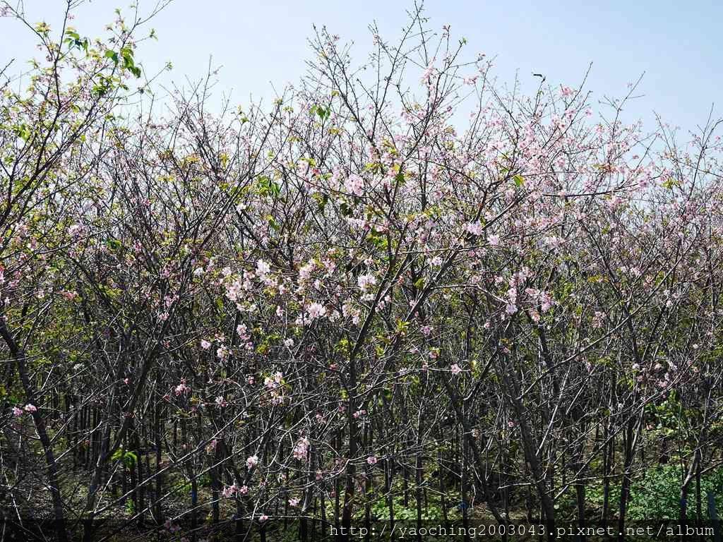 1551692557 2258243127 - 台中烏日 溪尾櫻花林,櫻花季開跑囉,一同感受免費的粉色浪漫