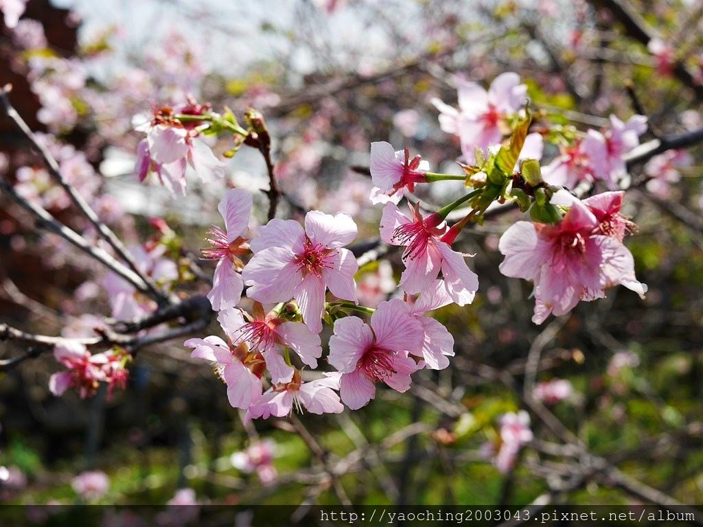 1551692558 2575769753 - 台中烏日 溪尾櫻花林,櫻花季開跑囉,一同感受免費的粉色浪漫