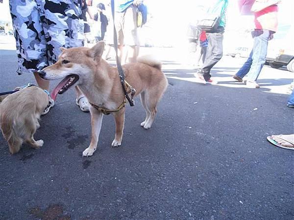 突然出現很可愛的柴犬 還有臘腸