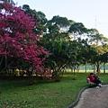 公司宿舍外的櫻花