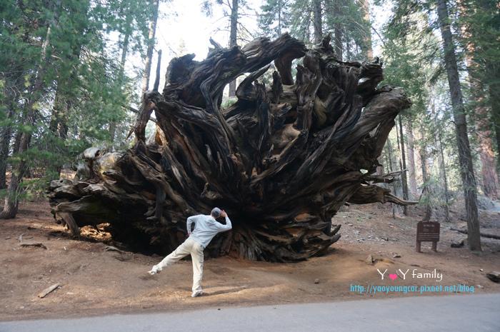 倒下的樹根也超級大