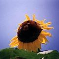 兩隻蜜蜂來湊熱鬧,變成一個有著笑臉的向日葵