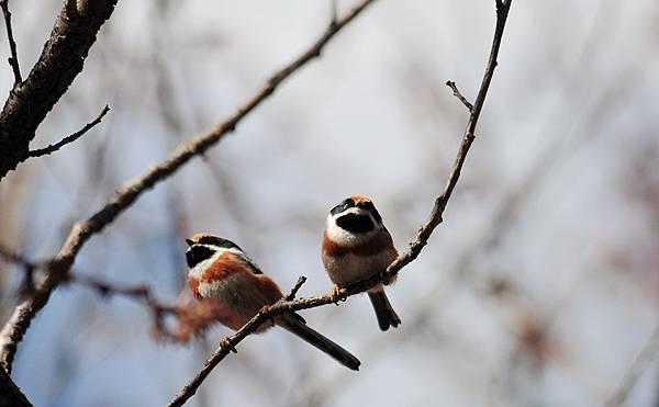 這二隻很逗趣~紅頭山雀