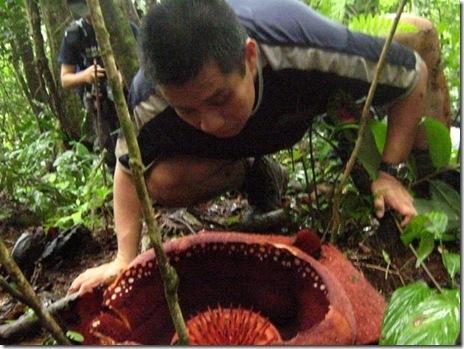 me rafflesia