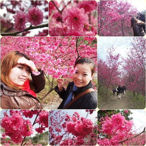 大坑濁水巷櫻花森林1