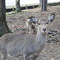 終於看到奈良的鹿兒了!!!!!