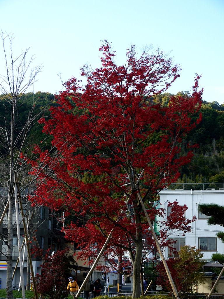 阪急嵐山站前楓葉