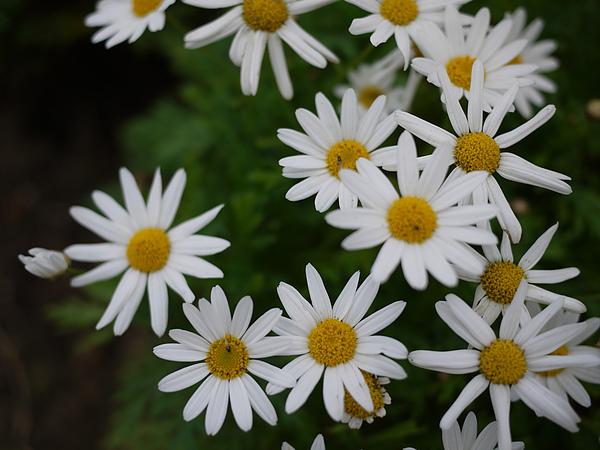 flower_whiteBuck.jpg