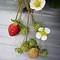 可愛的草莓花