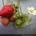 今年的草莓還不夠紅