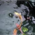 魚菜共生-小鯉魚