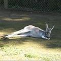 107.kangaroo.JPG