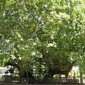 101-1.tree1.JPG