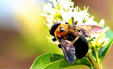 蒼蠅與蜜蜂