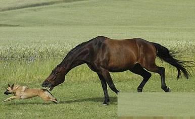 狗和馬誰較辛苦?
