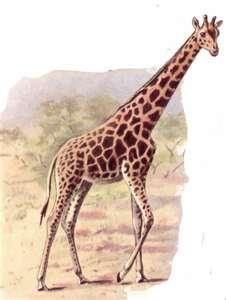 脖子很長的長頸鹿不會貧血嗎?