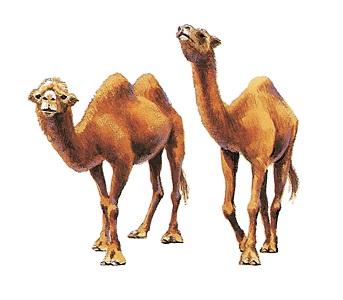 單峰和雙峰駱駝交配生下的小駱駝,有幾個駝峰?