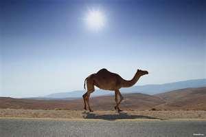 駱駝的駝峰裡藏有水嗎?